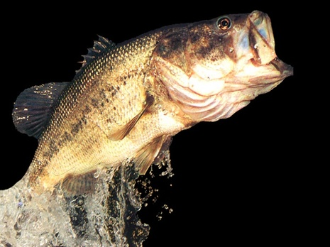 East texas lakes suitable fish species for stocking for Texas fish species